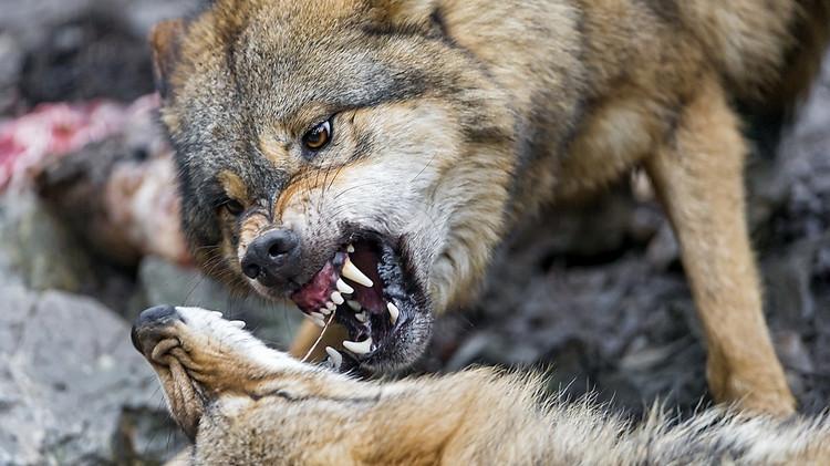 Таможенники спасли человека отбешеного волка