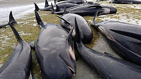 Дроздов пояснил массовое самоубийство дельфинов в новейшей Зеландии