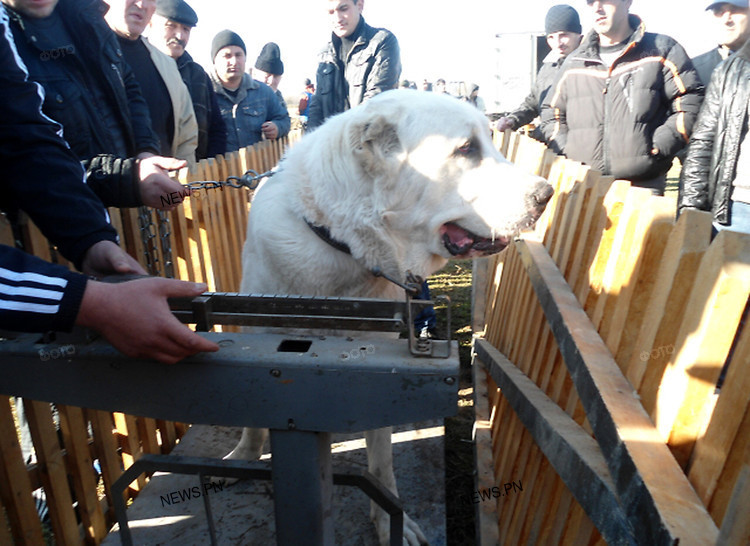 In Nikolayevshchina carry out bloody dog fights which