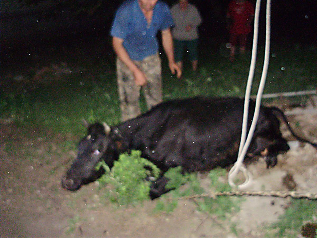 Корова села на ноги что делать