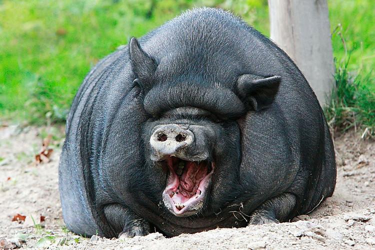 вьетнамской свиньи фото