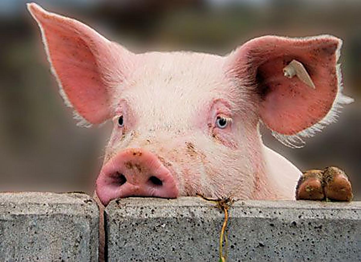 Мужчины, картинка свиньи смешная